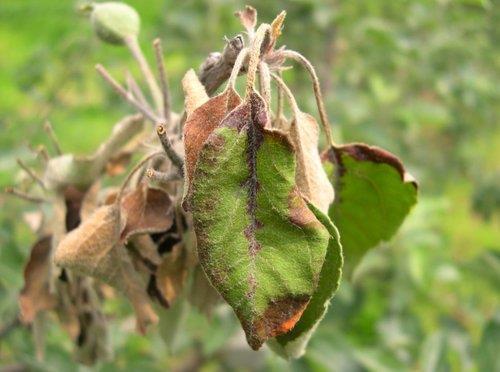 과수화상병 걸린 사과나무. 사진=경기도농업기술원